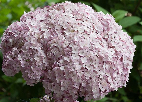 Hydrangea - Incrediball Blush