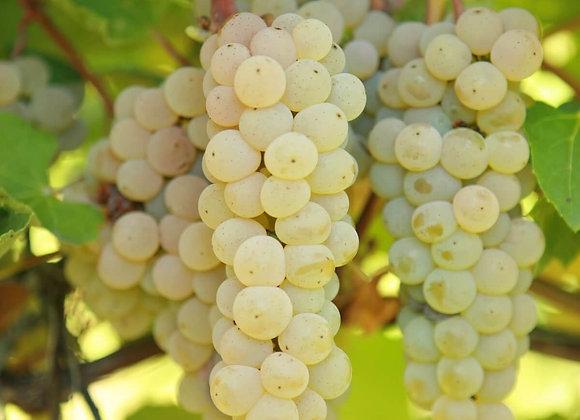Grape - Prairie Star