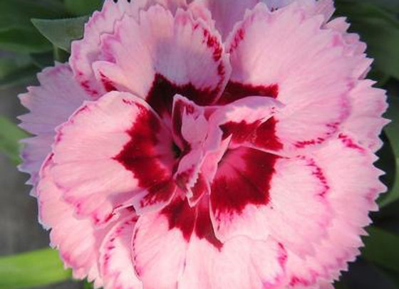 Carnation - Constant Beauty Crush Pink/Red