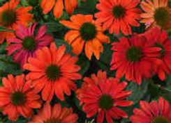 Coneflower - Artisan Red Ombre