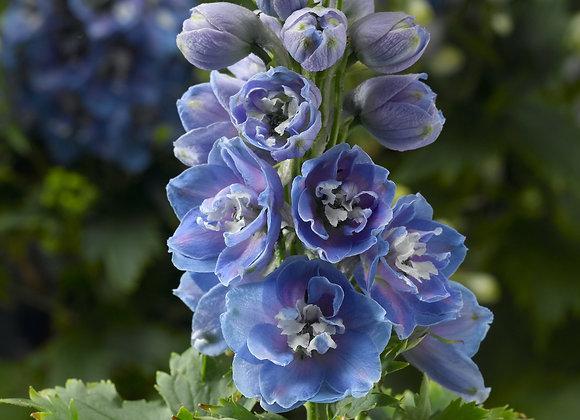 Larkspur - Light Blue & White Bee