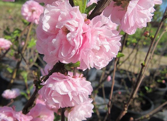 Flowering Plum - Double