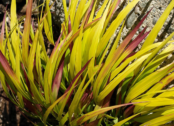 Grass - Sunflare