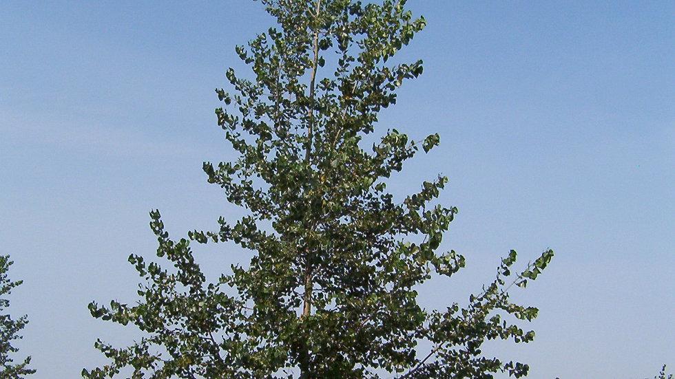 Poplar - Assiniboine