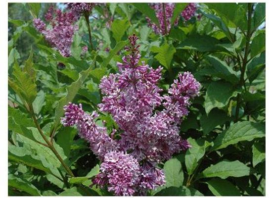 Lilac - Donald Wyman