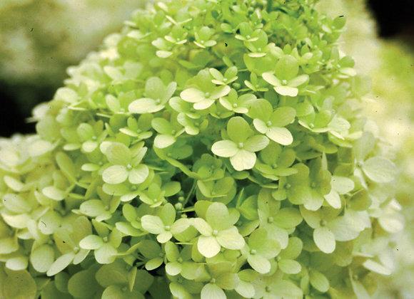 Hydrangea - Limelight