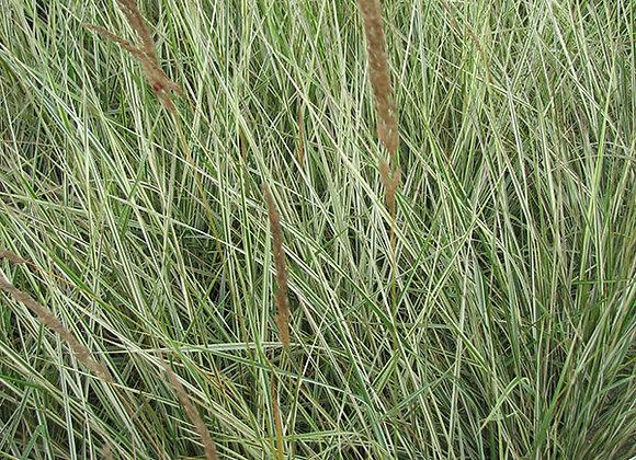 Grass - Overdam