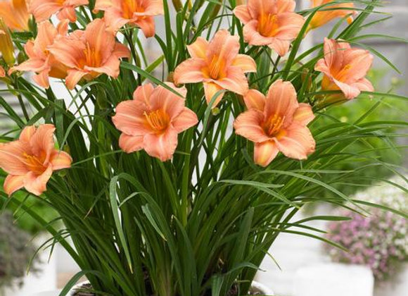 Daylily - Everyday Pink Wing