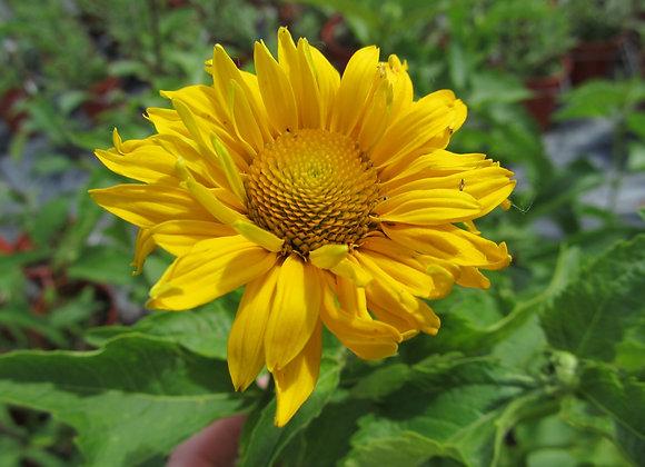 False Sunflower - Summer Sun