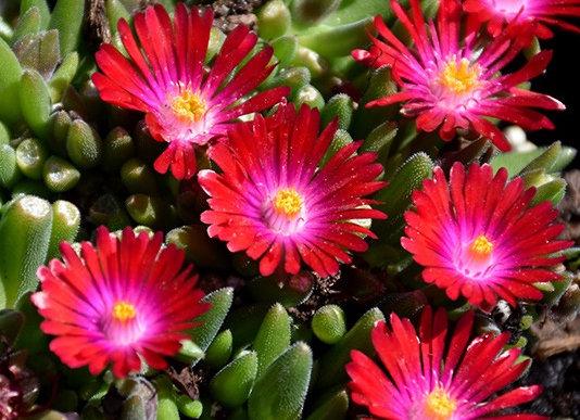 Ice Plant - Jewel of Desert Garnet