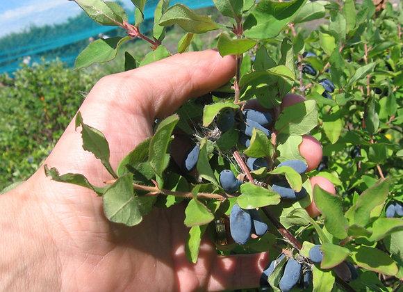 Honeyberry - Borealis