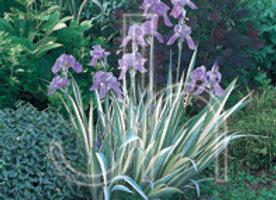 Iris - Albovariegata White