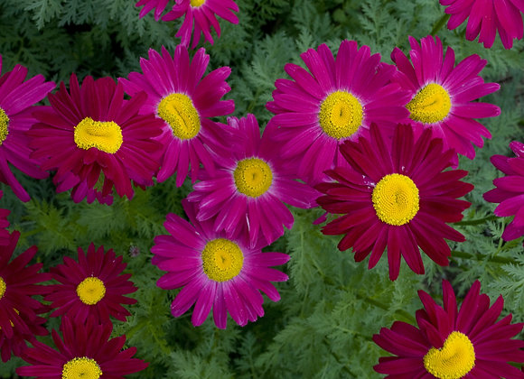 Painted Daisy - Robinson Red
