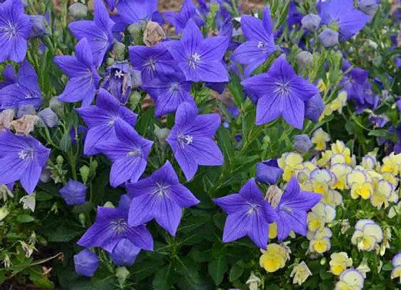 Balloon Flower - Sentimental Blue