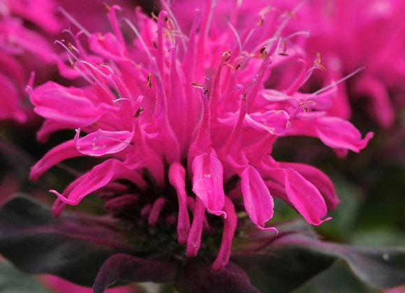 Bee Balm - Balmy Rose