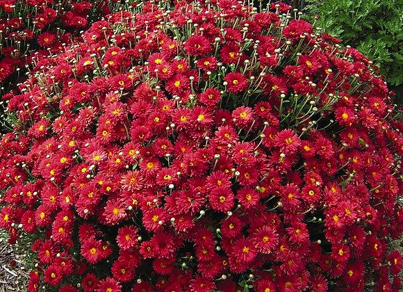 Mum - Mammoth Red Daisy