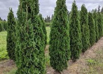 Cedar - Degroot's Spire