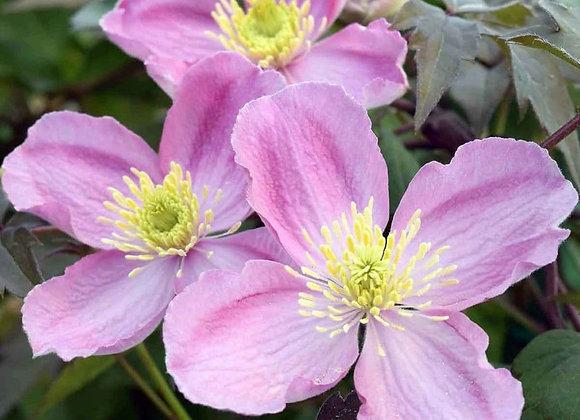 Clematis - Tetra Rose
