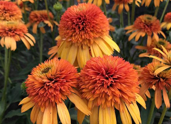 Coneflower - Orange Fascinator