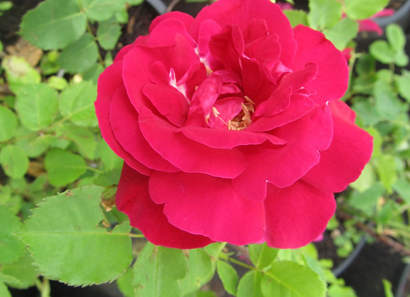 Hardy Rose - Cuthbert Grant