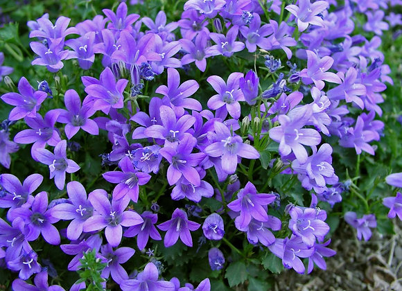 Bellflower - Bavarian Blue