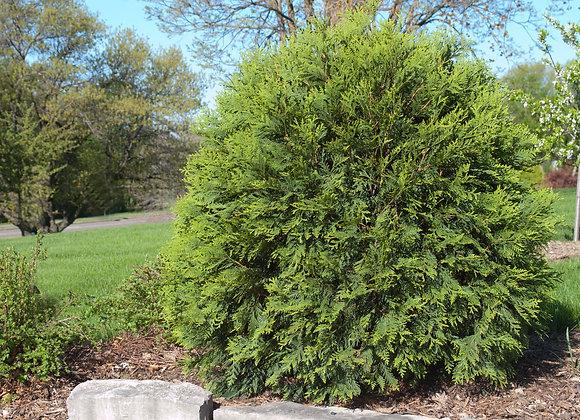 Cedar - Little Giant