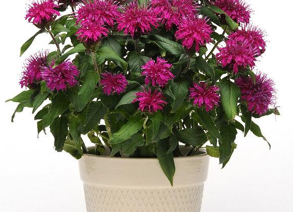 Bee Balm - Balmy Purple