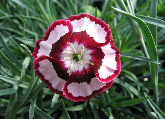 Carnation - Raspberry Swirl