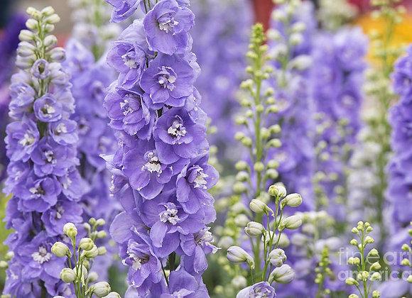 Larkspur - Aurora Lavender