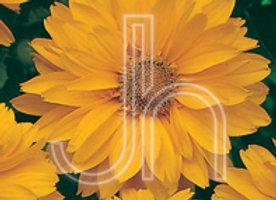 False Sunflower - Venus