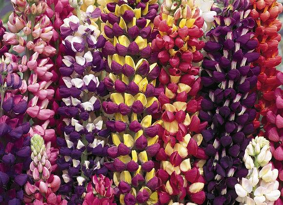 Lupine - Tutti Frutti Mix