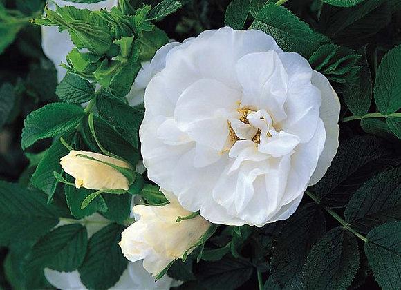 Hardy Rose - Blanc de Coubert