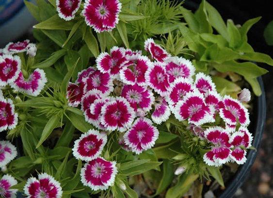 Carnation - Barbarini Purple Picotee