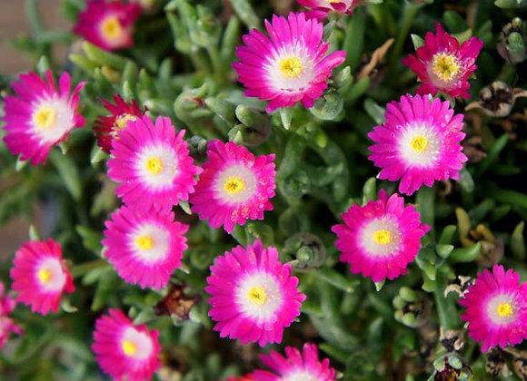 Ice Plant - Jewel of Desert Amethyst