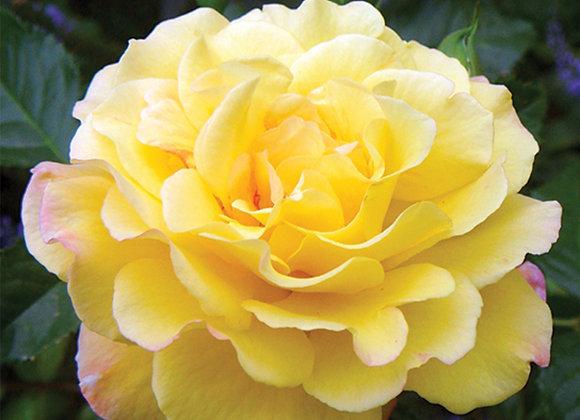 Hardy Rose - Rugelda