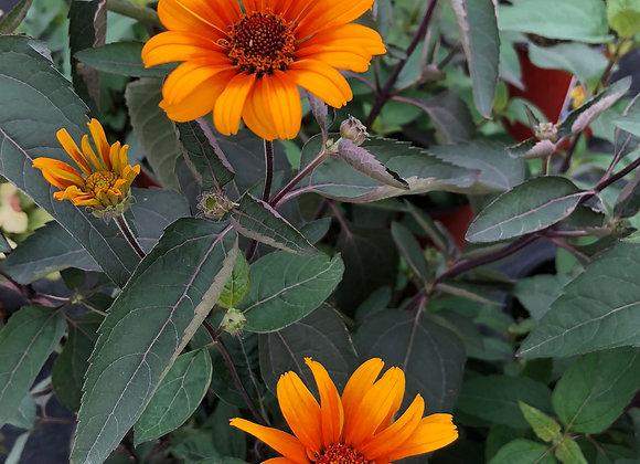 False Sunflower - Burning Hearts