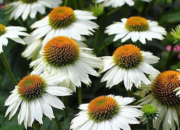 Coneflower - Pow Wow White