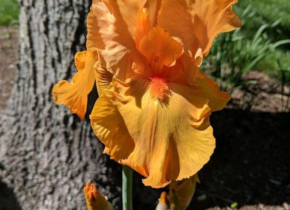 Iris - Savannah Sunset