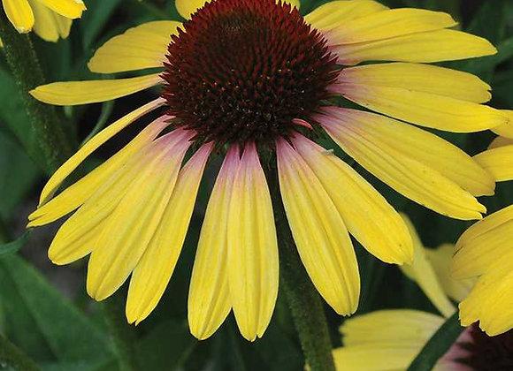 Coneflower - Yellow Rainbow