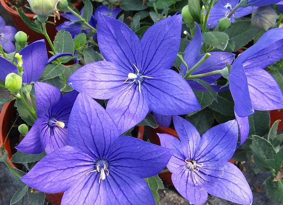 Balloon Flower - Astra Blue