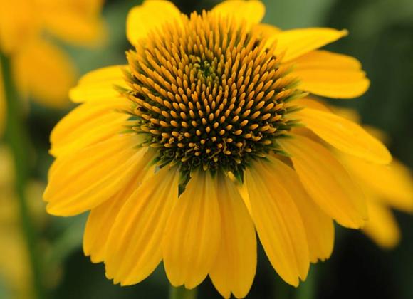 Coneflower - Lemon Yellow