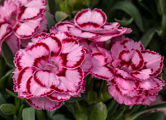 Carnation - Constant Beauty Pink & Red