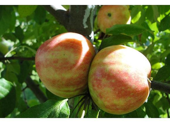 Apple - Norkent
