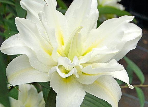 Lily - Roselily Carolina