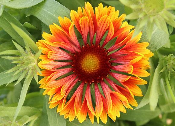 Blanket Flower - SpinTop Copper Sun