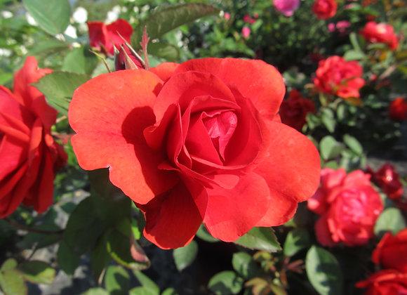 Hardy Rose - Morden Fireglow