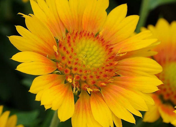 Blanket Flower - Mesa Peach