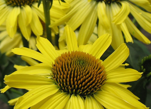 Coneflower - Butterfly Cleopatra