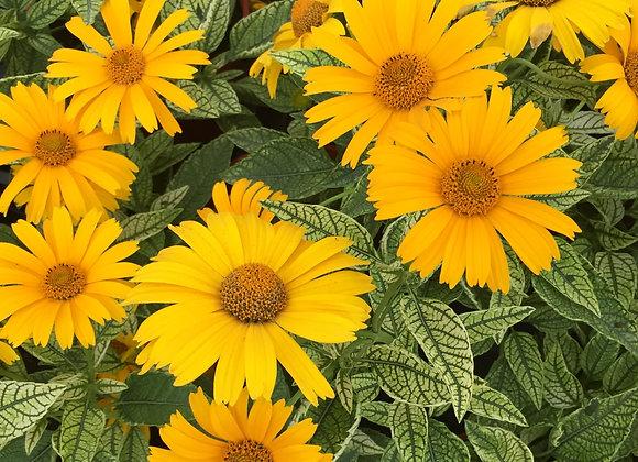 False Sunflower - Sunstruck