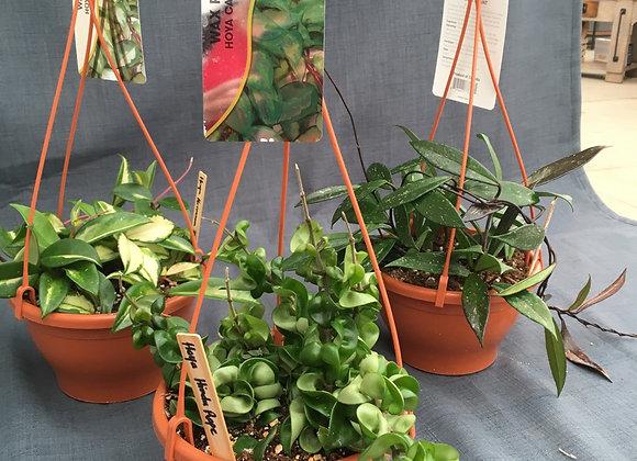Hoya Hanging Basket